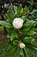 《茉莉花》 的图像结果