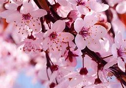 一树桃花开 的图像结果