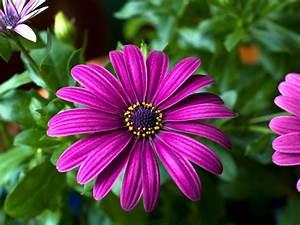 Purple, Flowers, Gerbera, Beautiful, Flowers, Wallpaper, Hd, 1920x1080, Wallpapers13, Com