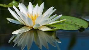 Wallpaper, Lotus, 5k, 4k, Wallpaper, Flowers, Lake, River, Os, 5658