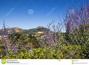 Beautiful, Wild, Lavender, Blue, Sky, And, Mountain, Background, French, Provence, Stock, Image