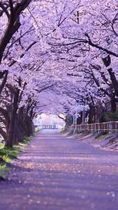 Cherry, Blossom, Tree, Wallpaper, 60, Images