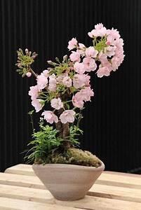 Cherry, Blossom, Bonsai, Care, Instructions